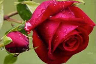 Picture of a rose